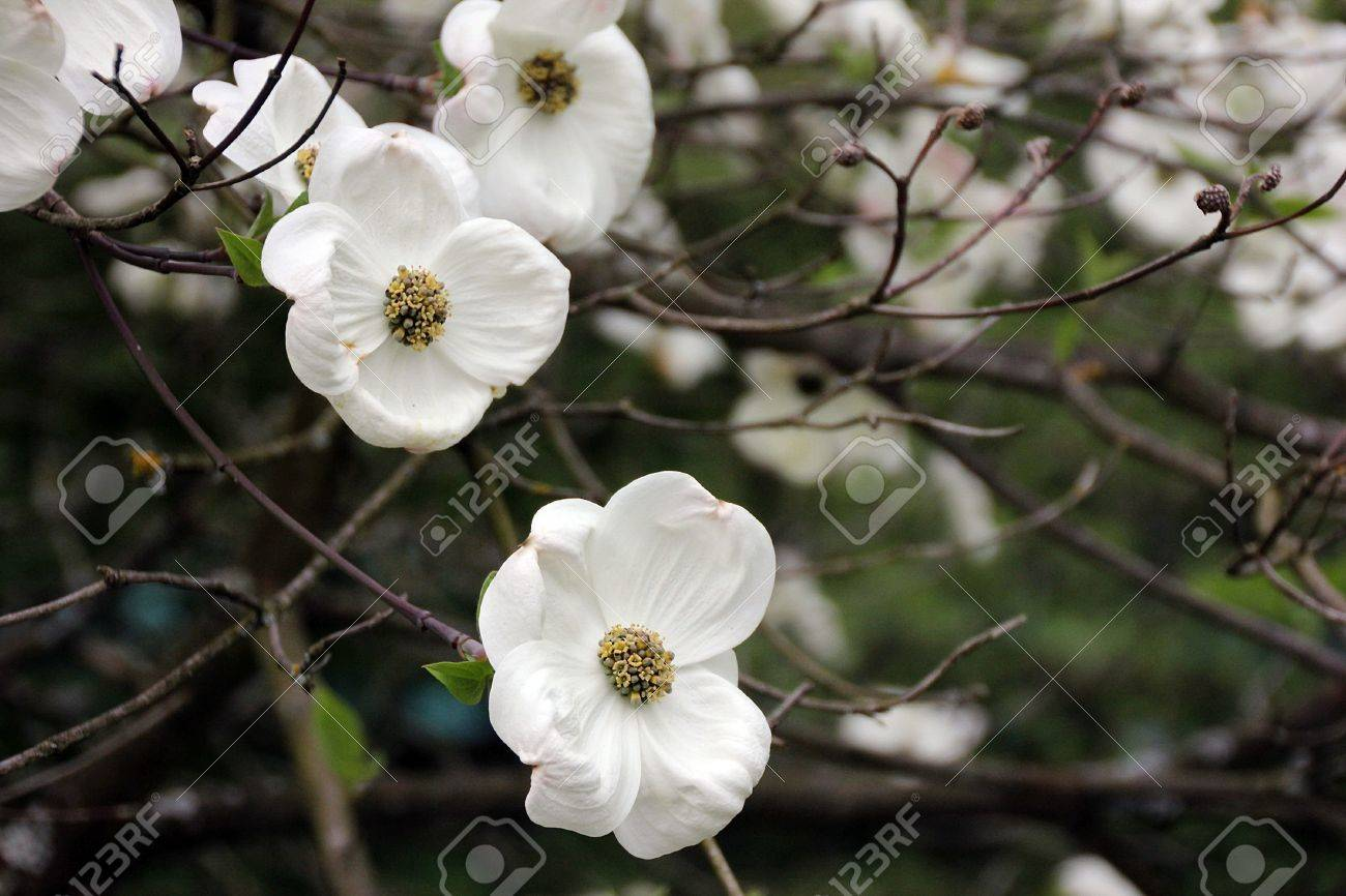 Unknown flowering tree with big white flowers royalty free stok stok fotoraf unknown flowering tree with big white flowers mightylinksfo