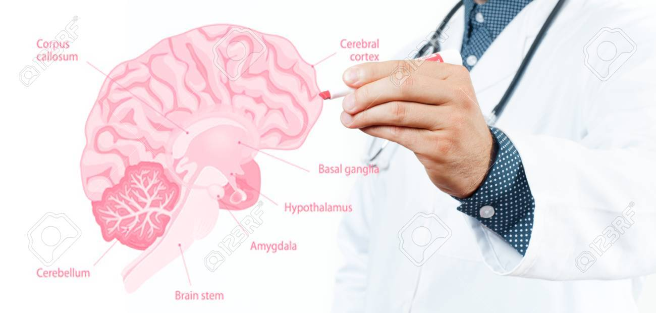 Medicine Concept Doctor And Anatomy Of Human Brain For Basic