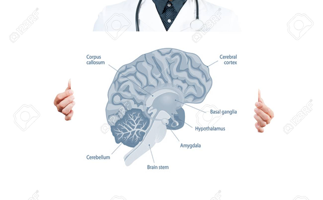 Human Braint Doctor And Anatomy Of Human Brain For Basic Medical