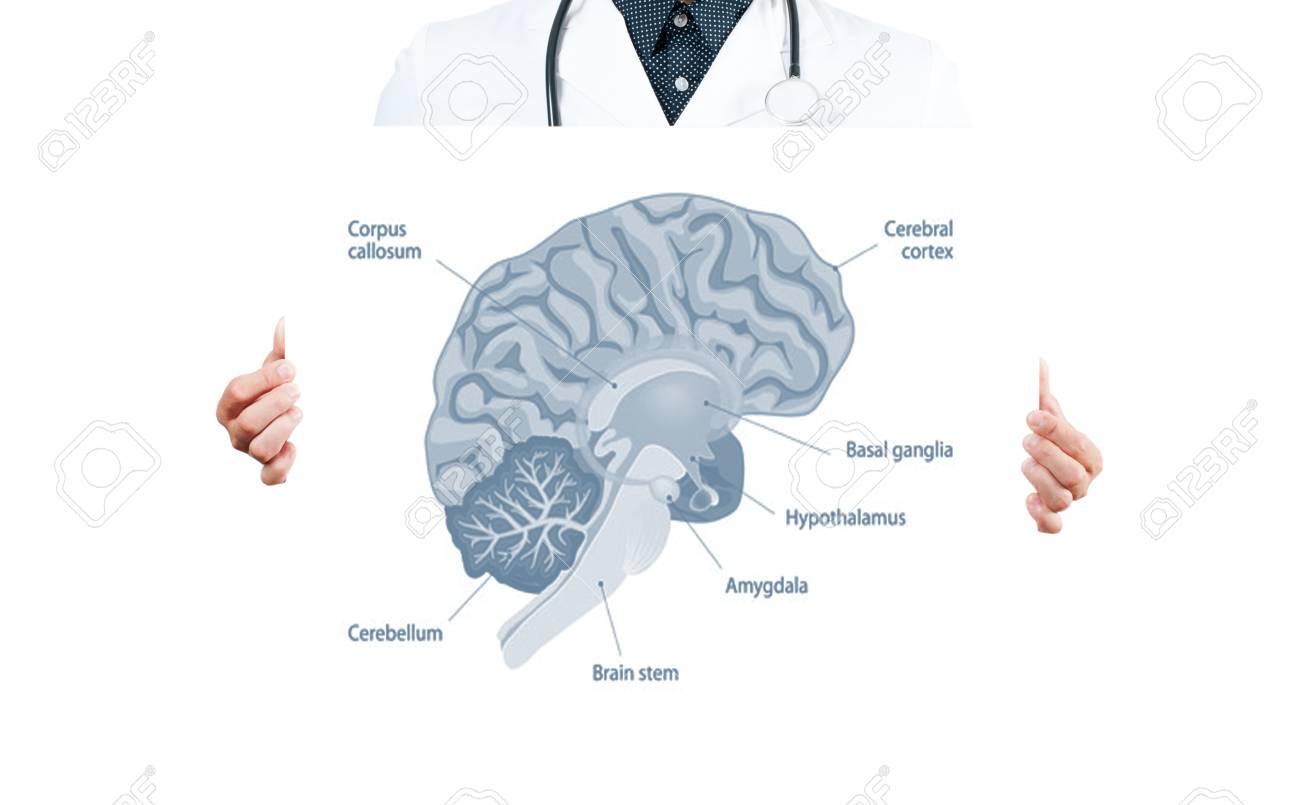 Menschliche Braint. Arzt Und Anatomie Des Menschlichen Gehirns Für ...