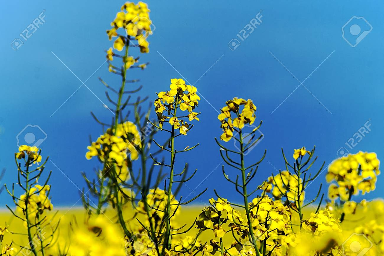 Lan with yellow rape and blue sky background Stock Photo - 16252427