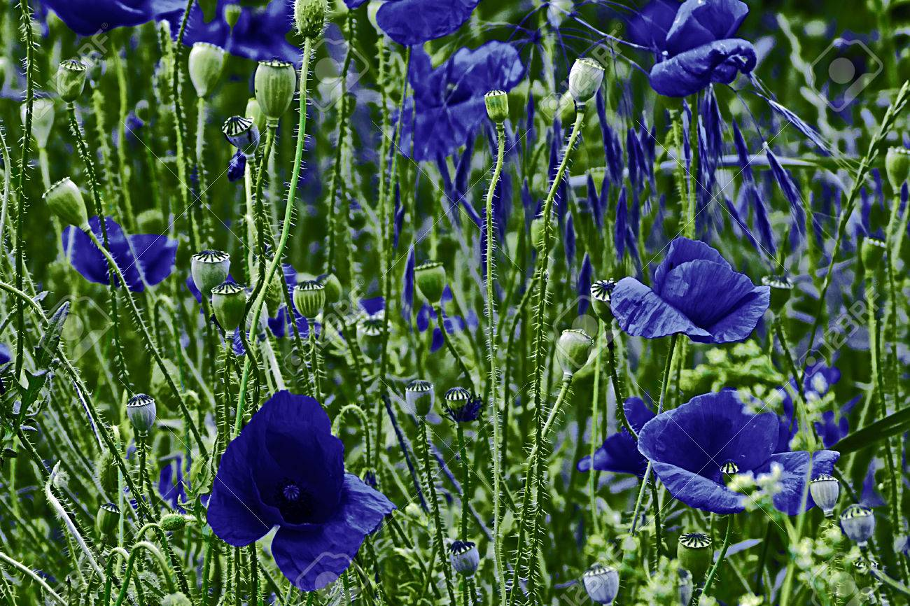 Background With Blue Poppy Flowers On A Green Field Stock Photo