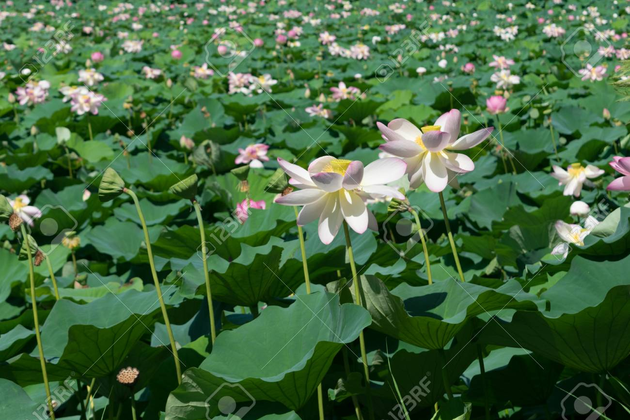 Water lily flowers with green leaves background lake full with stock photo water lily flowers with green leaves background lake full with lotus plant and flowers selective focus izmirmasajfo
