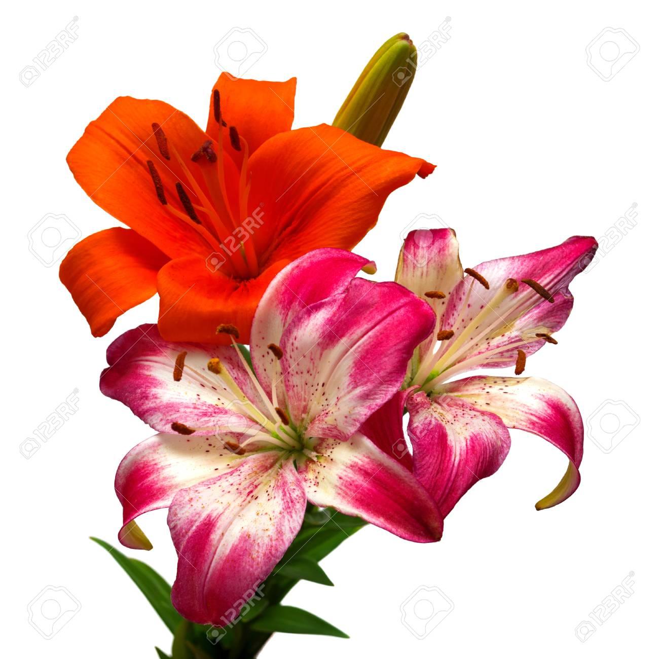 Deux Fleurs De Lys Orange Et Rose Blanc Isole Sur Fond Blanc Banque