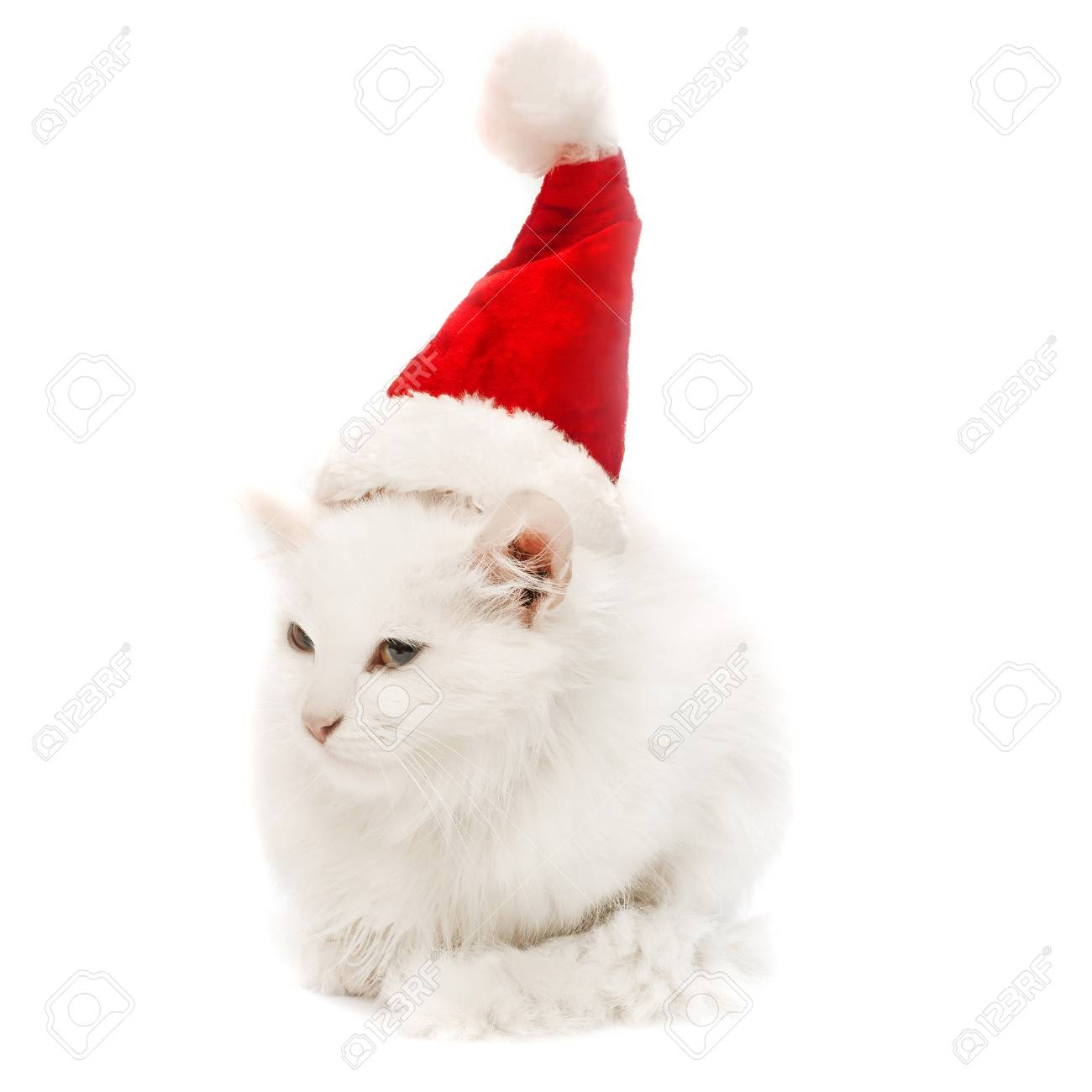 White Christmas Cat In The Hat Isolated On White Background Stock Photo Picture And Royalty Free Image Image 58423079
