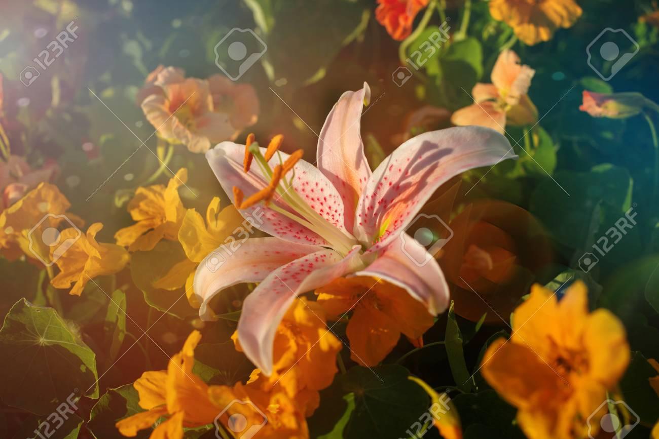 Belle Fleur De Lys Vintage Rose Filtre Retro Faire Part De Mariage Fleur En Forme D Etoile De Mer