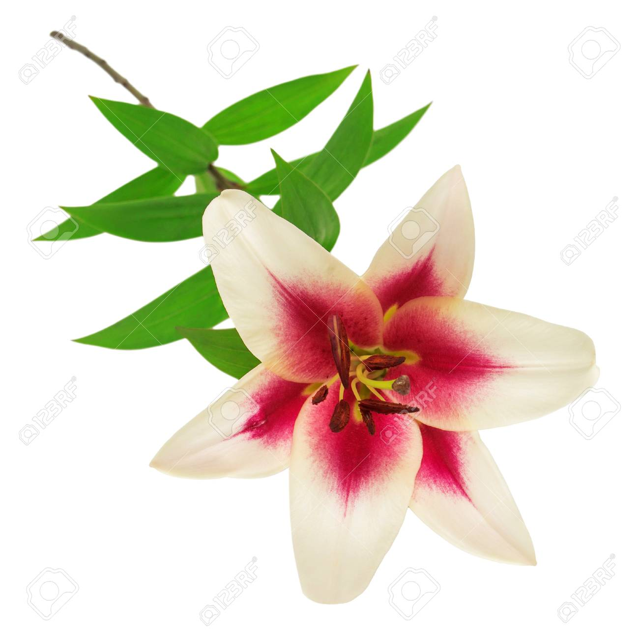 Beautiful Pink Lily Flower Isolated On White Background Stock Photo