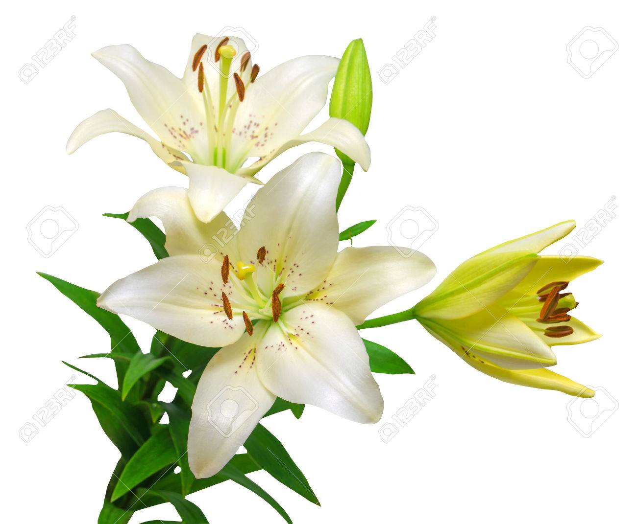Bouquet Of Beautiful White Lily Flowers Isolated On White Background