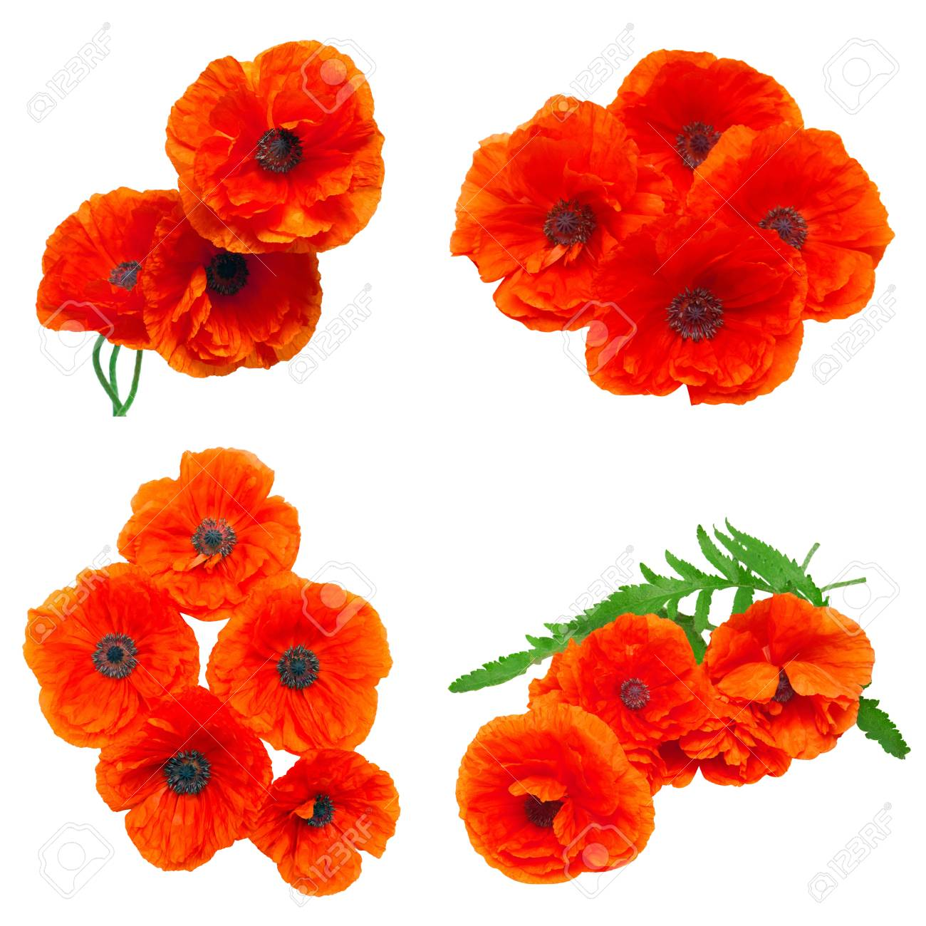 Collection Poppy Red Flowers Isolated On White Background Flat