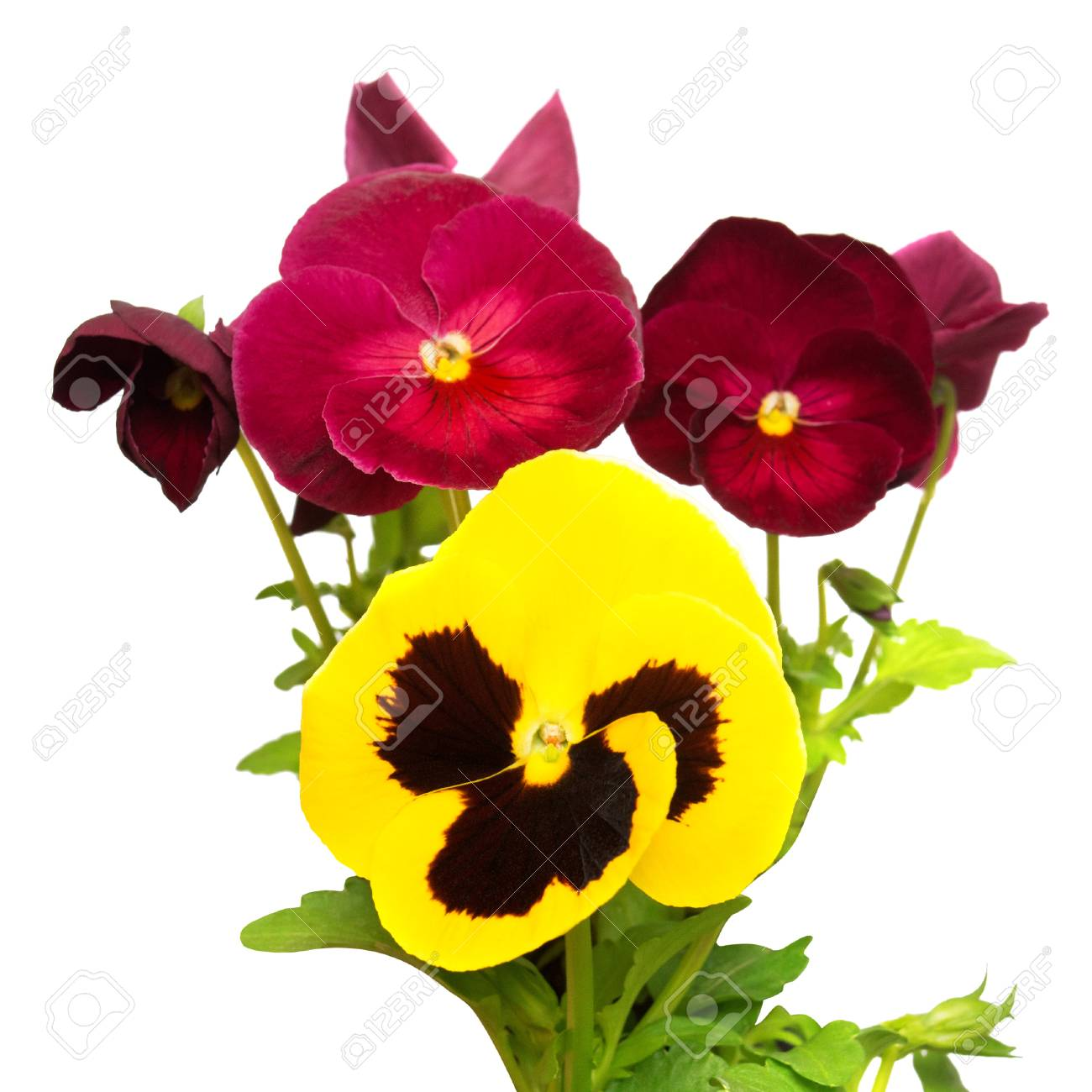 Purple And Yellow Flowers Pansy Isolated On White Background ...
