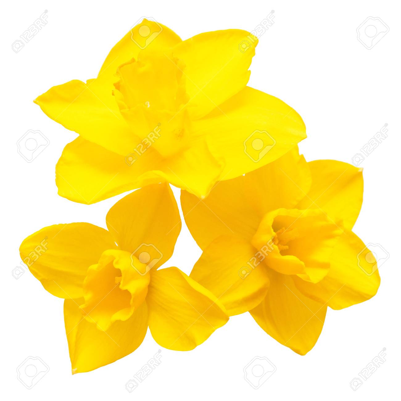 Bouquet of yellow daffodils flowers isolated on white background. Flat lay, top view - 78399793