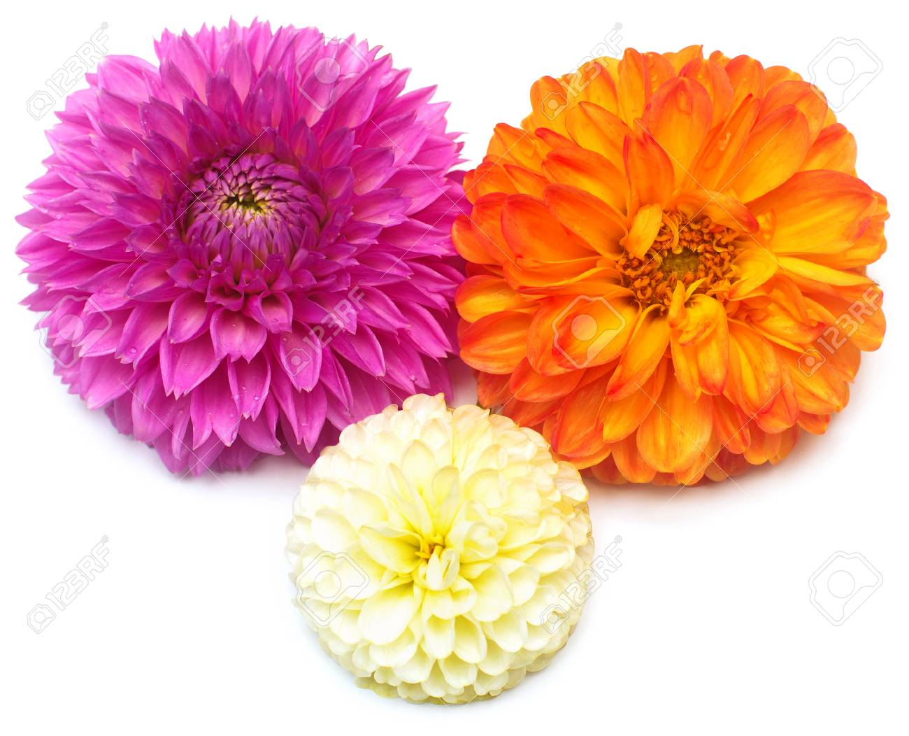Three Dahlias Flowers Isolated On White Background Flat Lay