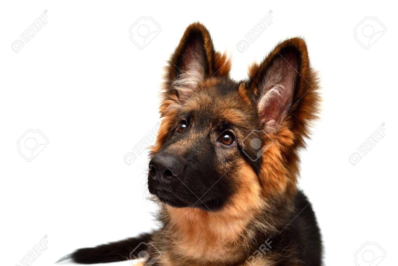 Fluffy German Shepherd Dog Isolated On White Background Puppy Stock Photo Picture And Royalty Free Image Image 95200662
