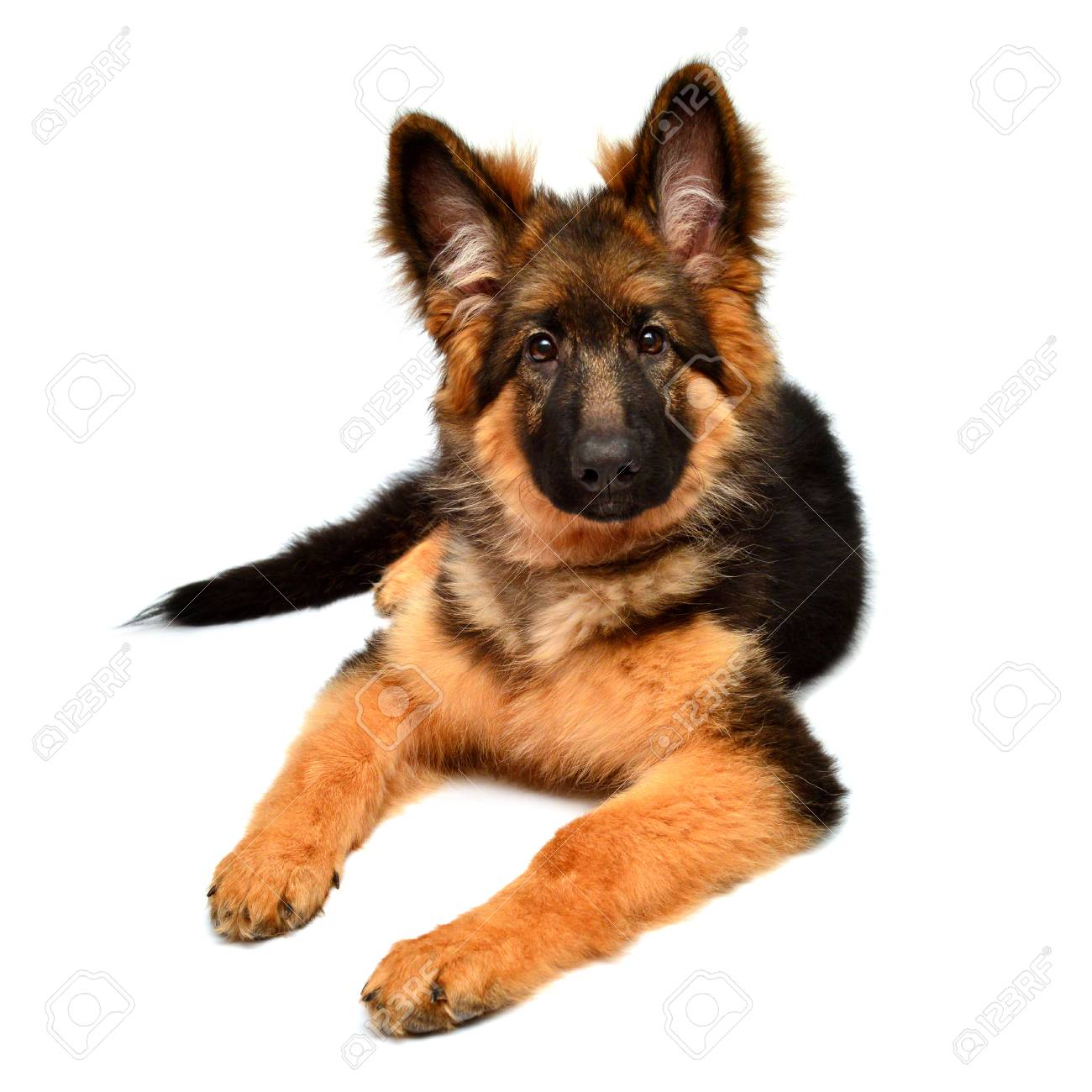 Fluffy German Shepherd Dog Isolated On White Background Puppy Stock Photo Picture And Royalty Free Image Image 95201065