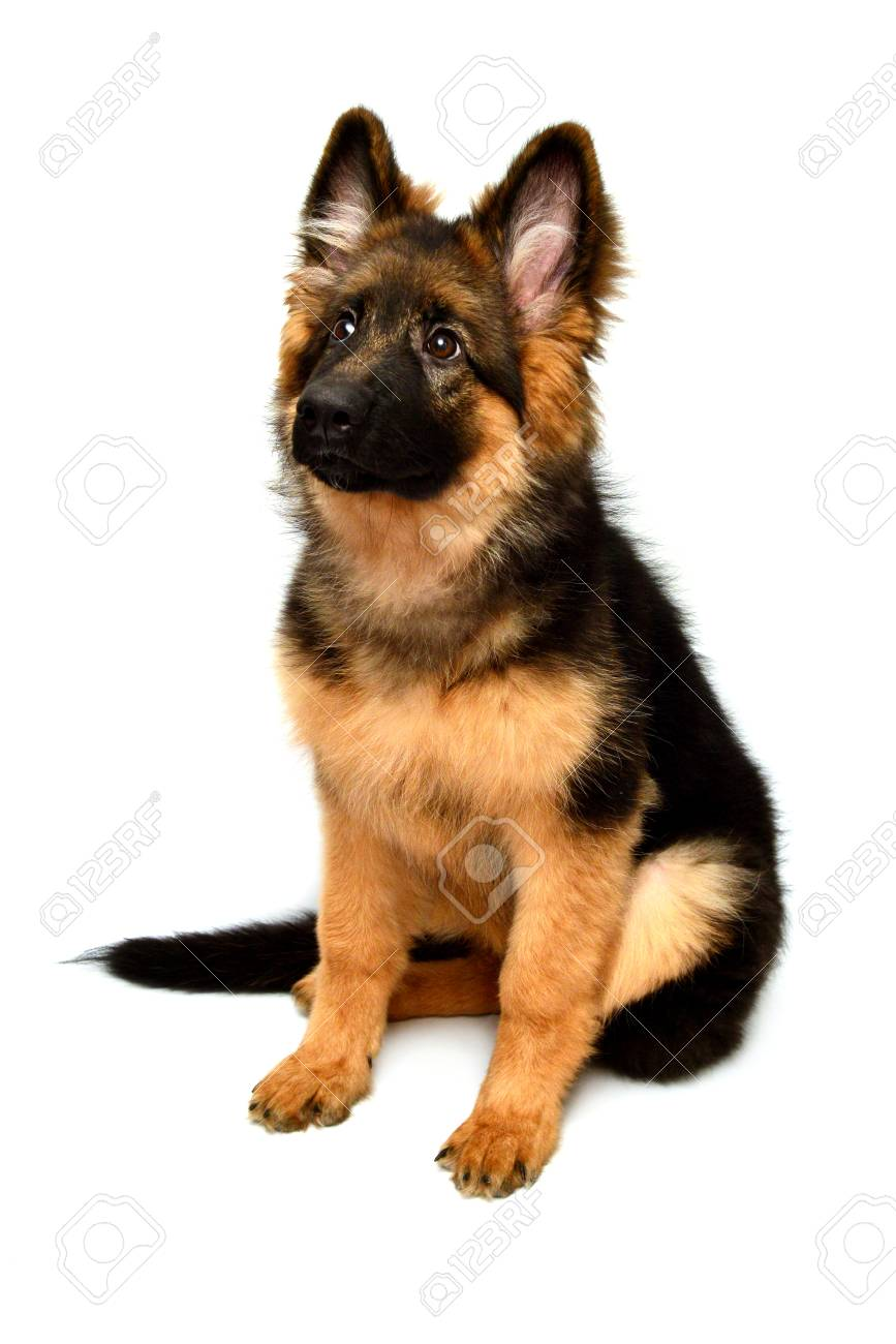 Fluffy German Shepherd Dog Isolated On White Background Puppy Stock Photo Picture And Royalty Free Image Image 95202068