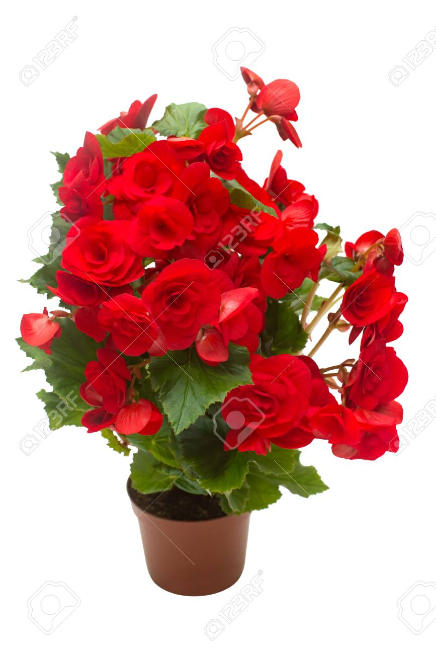 Begonia Red Flowers In A Pot Isolated On White Background Flat Stock Photo Picture And Royalty Free Image Image 95203015