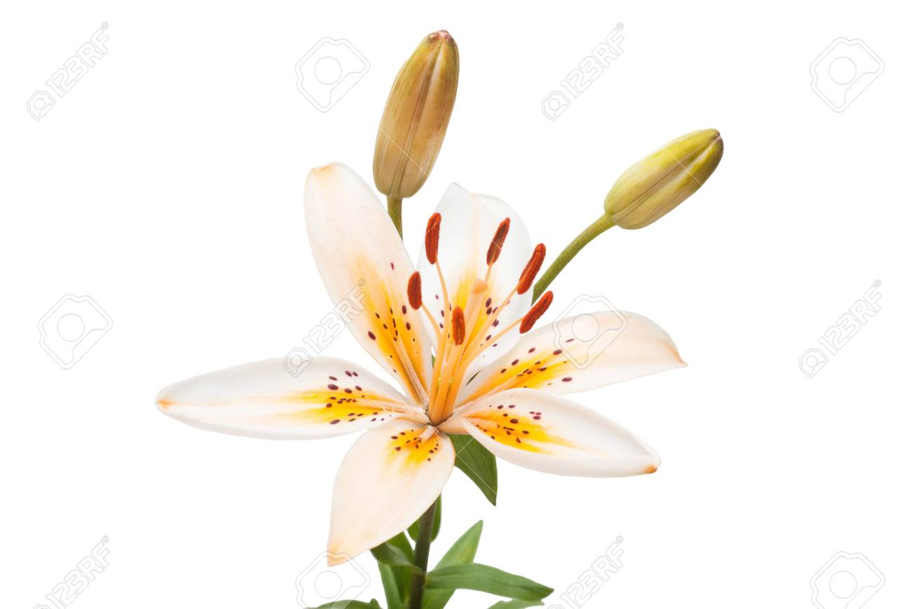 Beautiful yellow lily isolated on white background. Summer. Spring. Flat lay, top view. Love. Valentine's Day. Flower - 95203018
