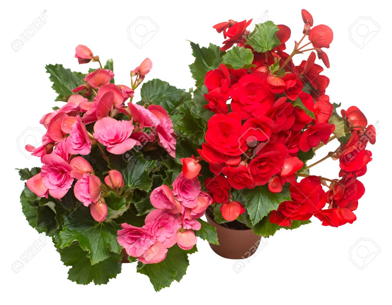 Begonia red and pink in a pot flowers isolated on white background. Flat lay, top view - 95203025