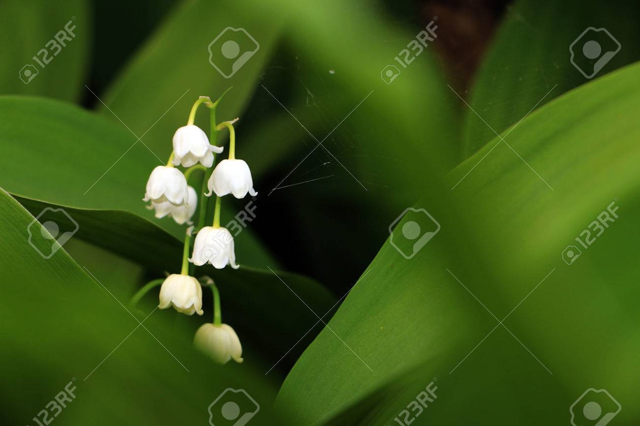 Inflorescence of european lilyofthevalley botanical name convallaria inflorescence of european lilyofthevalley botanical name convallaria majalis between dark green leaves with blurry foreground stock izmirmasajfo