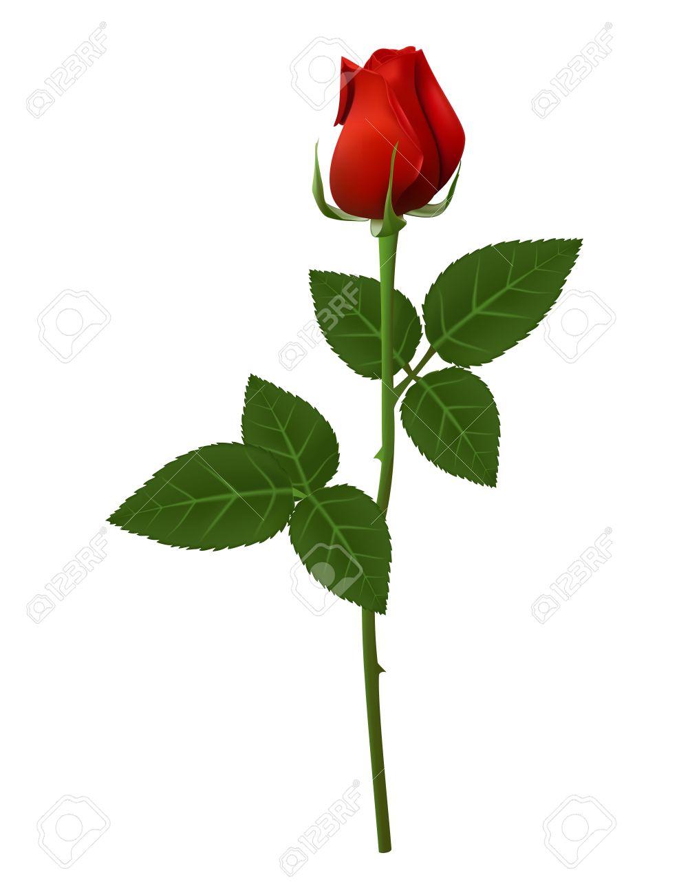 Erfreut Rose Blume Anatomie Bilder - Anatomie Von Menschlichen ...