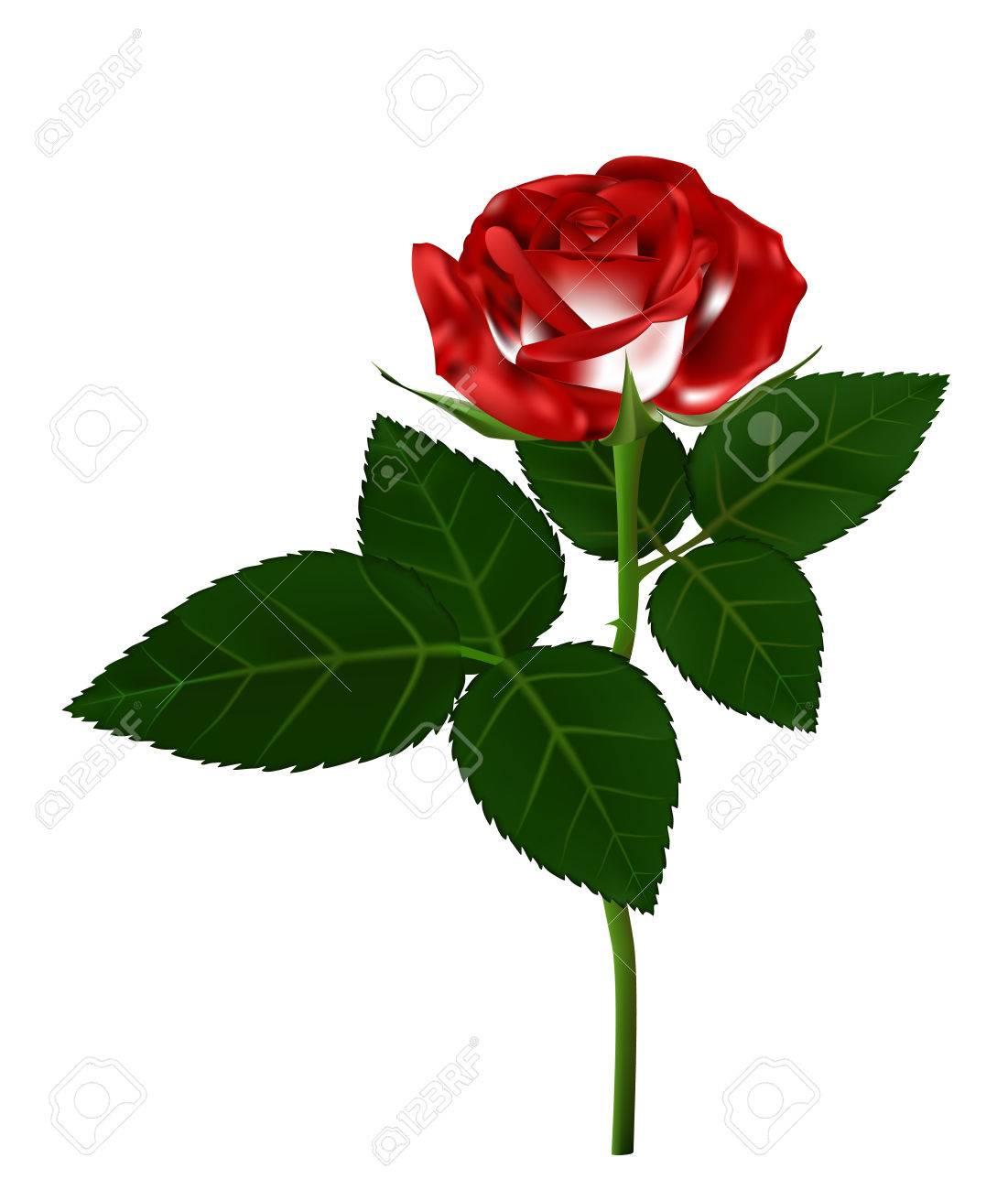 Single Red Rose Flower Illustration Beautiful On Long Stem Isolated White Background