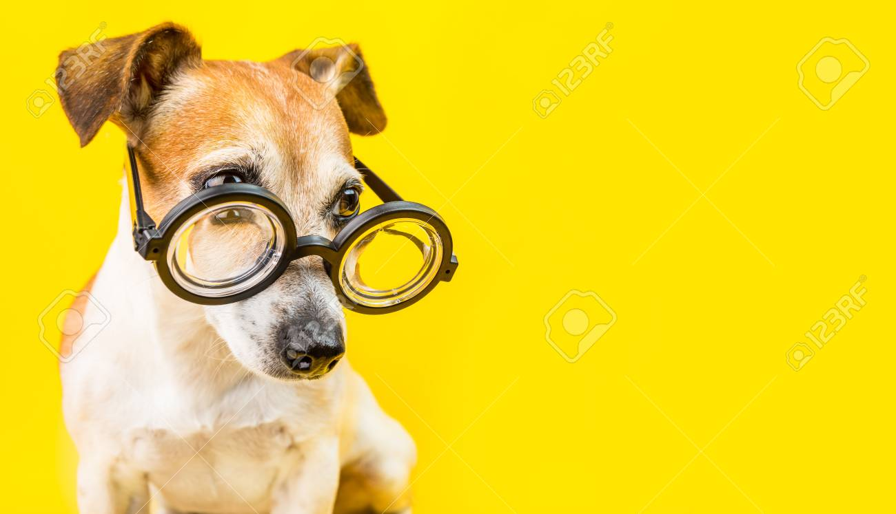 Curious Serious Cute Dog Jack Russell Terrier In Glasses On Yellow Stock Photo Picture And Royalty Free Image Image 106186926