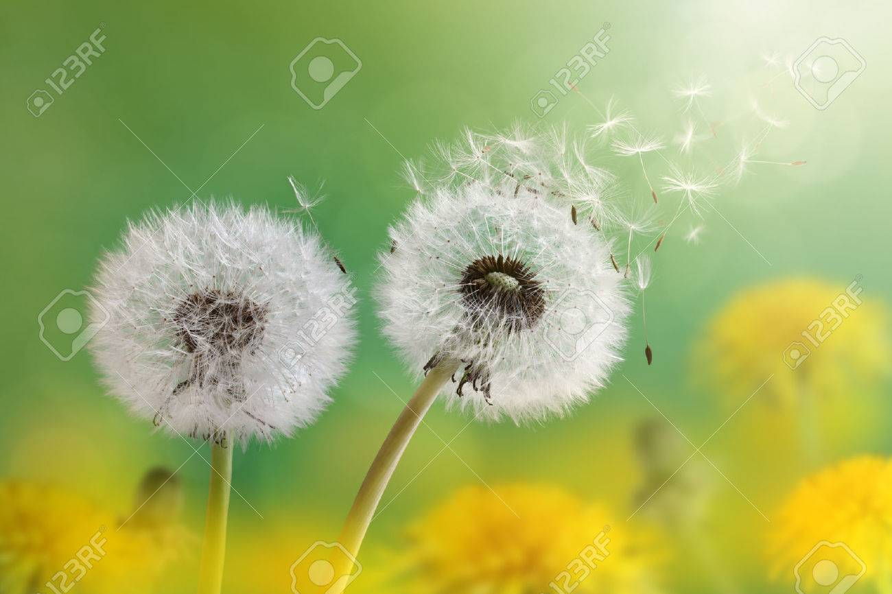 Dandelion seeds in the morning sunlight blowing away across a fresh green background - 29819580