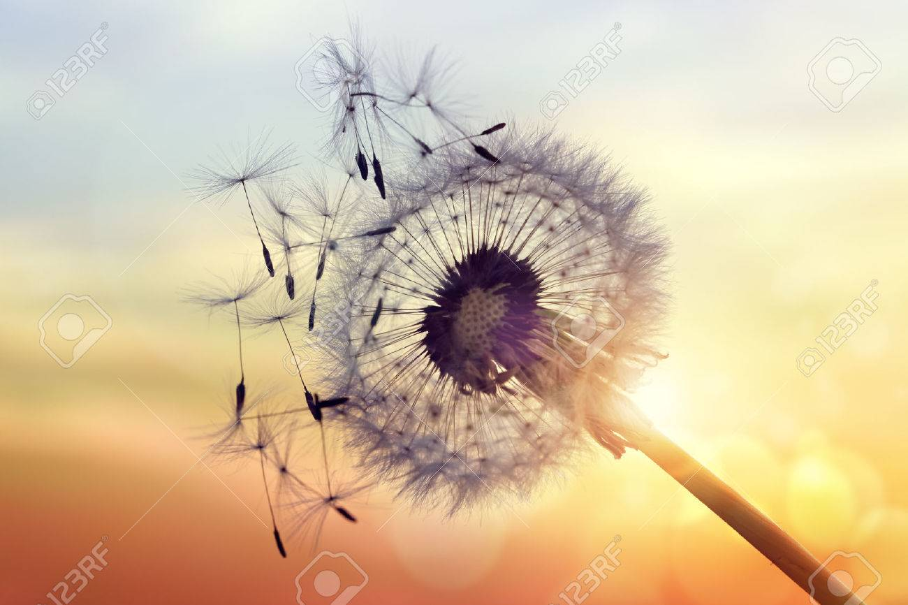 Dandelion silhouette against sunset with seeds blowing in the wind - 61385929