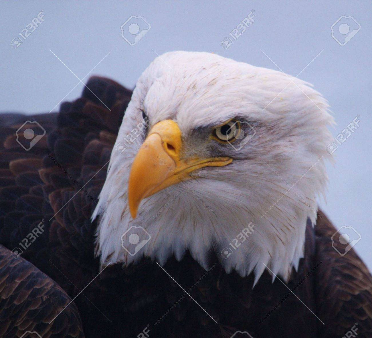 Eagle Without Beak Beaks Bald Eagle in a