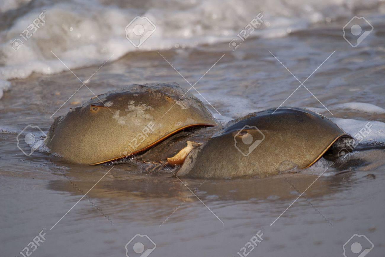 Horseshoe Crab Eggs Horseshoe Crabs in The New