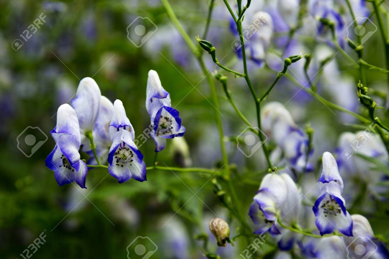 Purple And White Monkshood Flower Is Beautiful But This Perennial