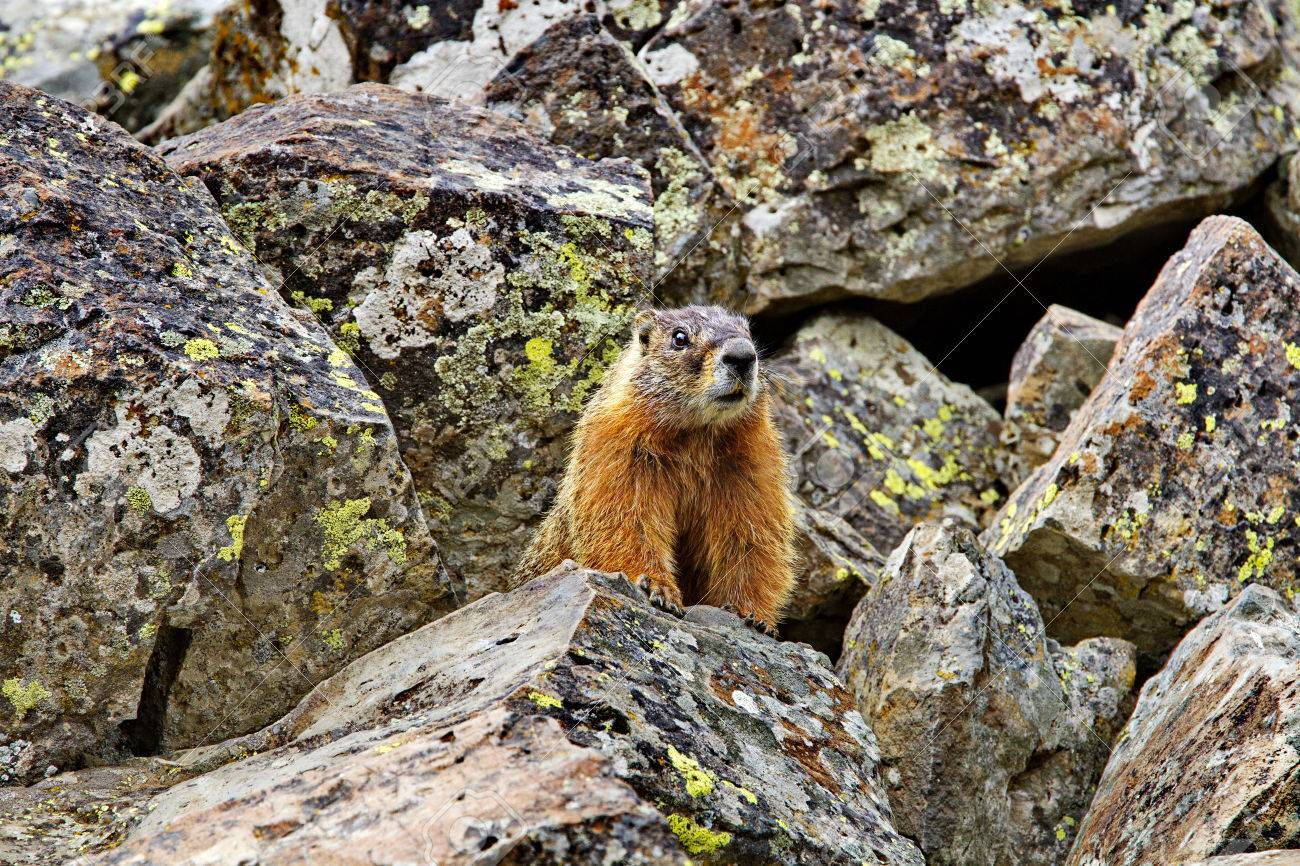 Yellow Bellied Marmot Stands On Rocks At Sheepeaters Cliff In