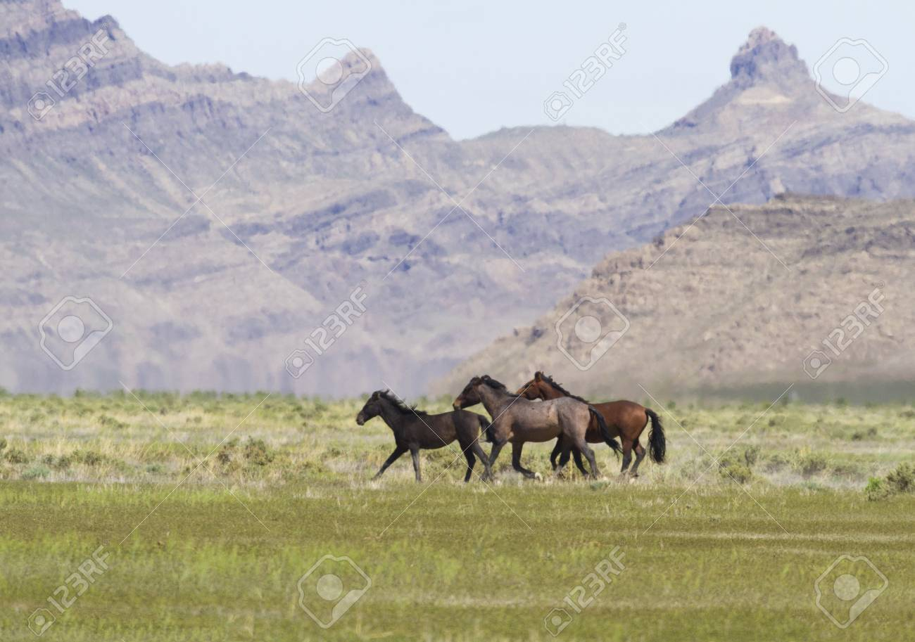Trio Of Wild Horses Run In Front Of Hills In Utah At Onaqui Mountains Stock Photo Picture And Royalty Free Image Image 63041717