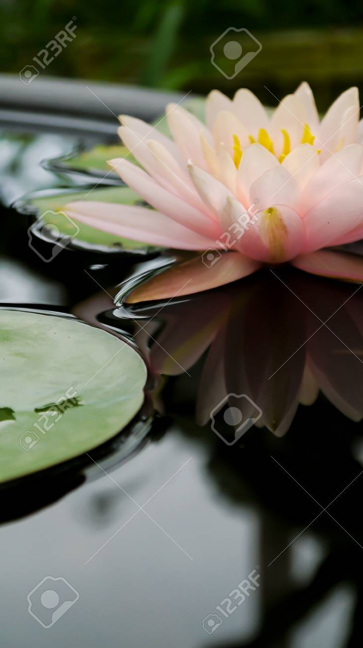 Lotus Lotus Flower Pink Flowers Stock Photo Picture And Royalty