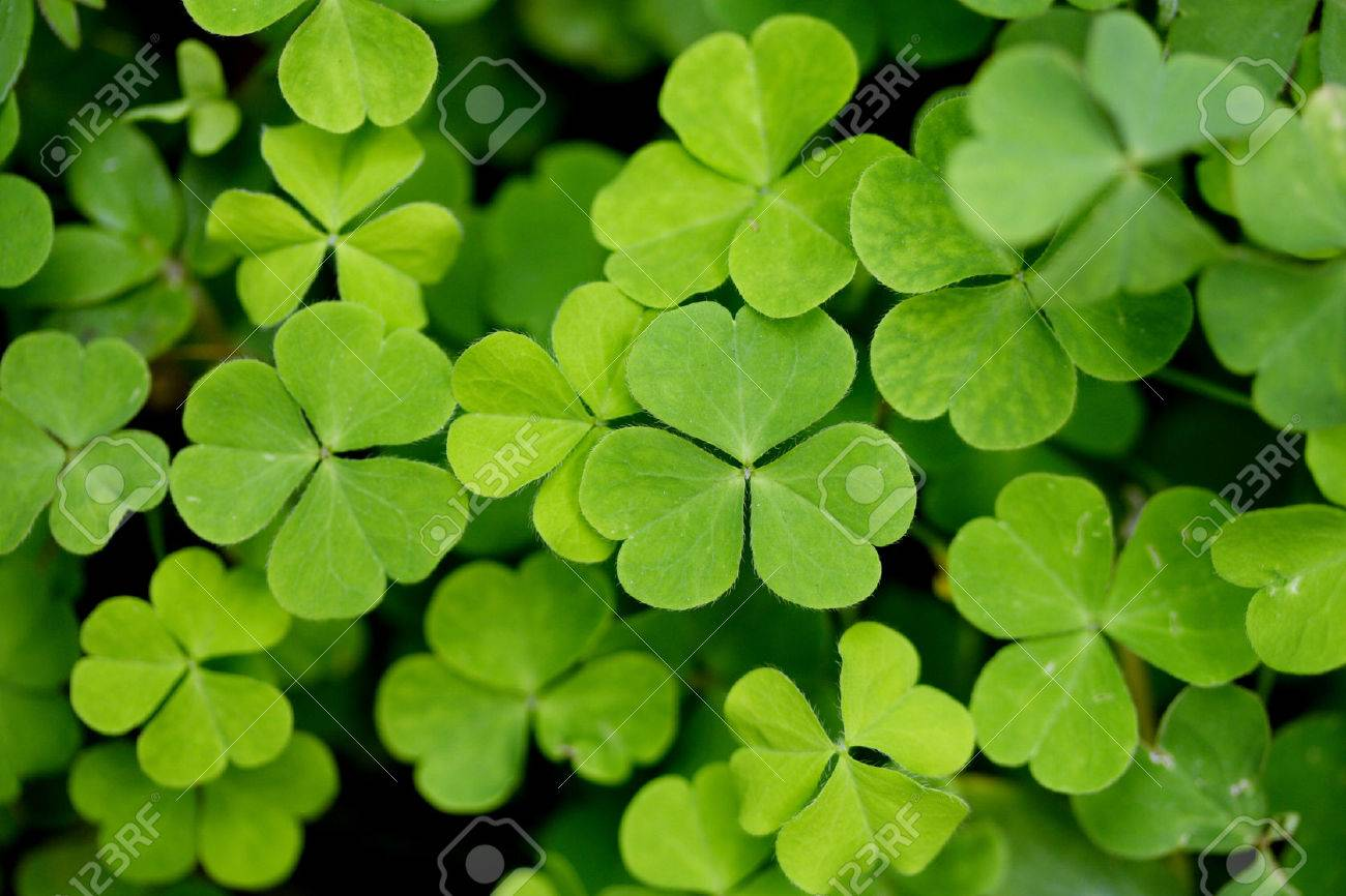 Three Leaf Clovers Stock Photo Picture And Royalty Free Image