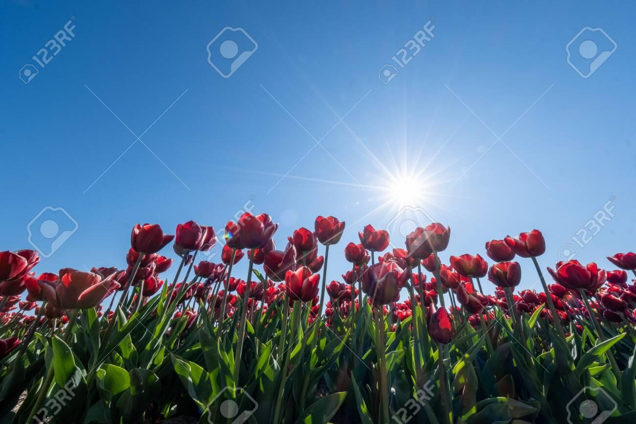red orange tulip flowers, fresh flower field in the Noordoostpolder Netherlands Flevoland - 146415980