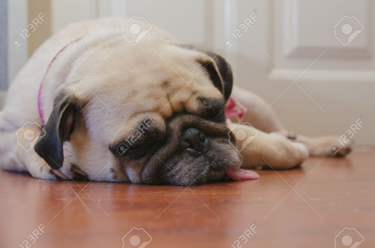 Close Up Face Of Cute Pug Puppy Fat Dog Sleeping By Chin And Stock