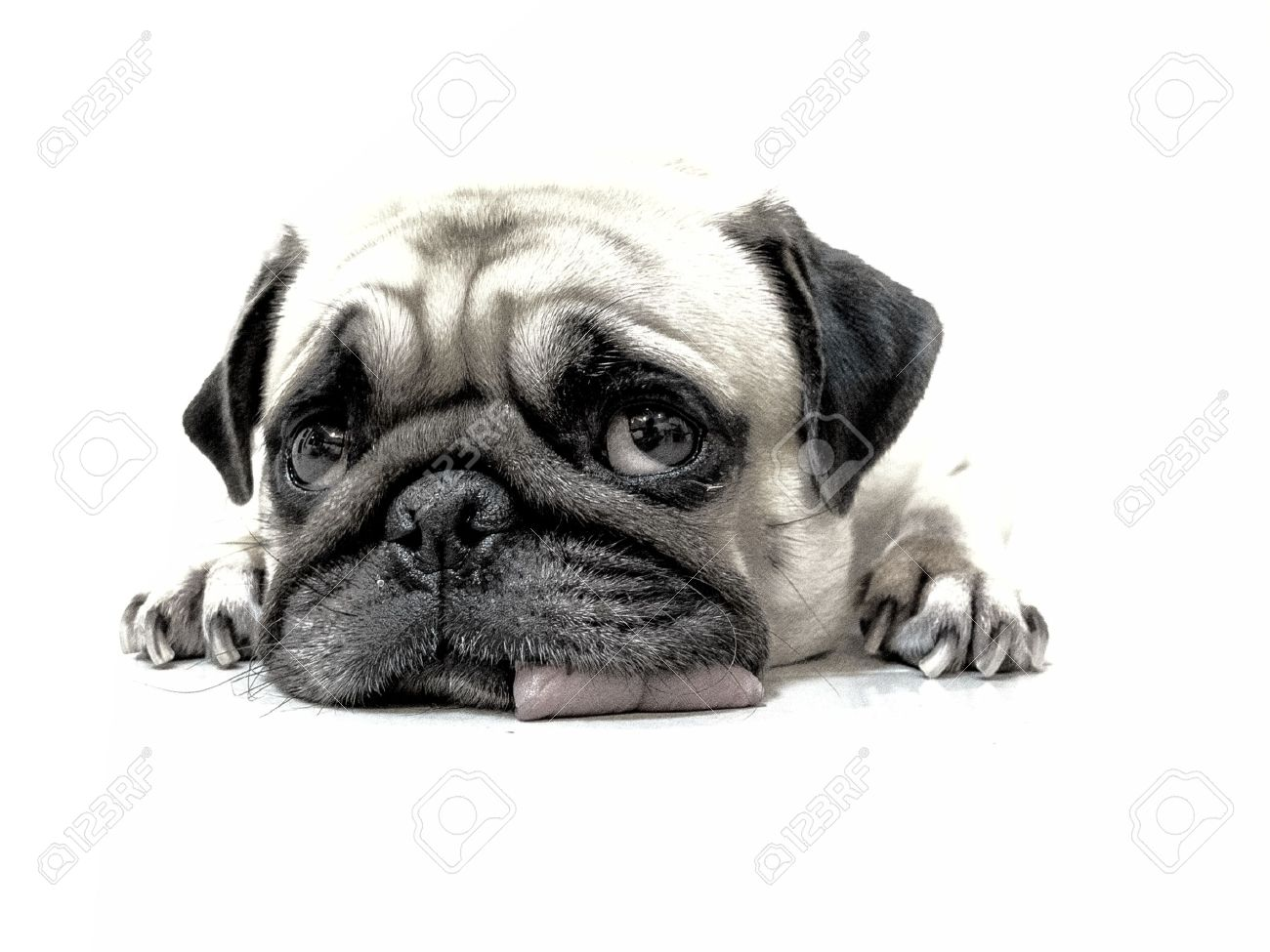 Pencil sketch of close up face cute pug puppy dog sleeping by chin and tongue