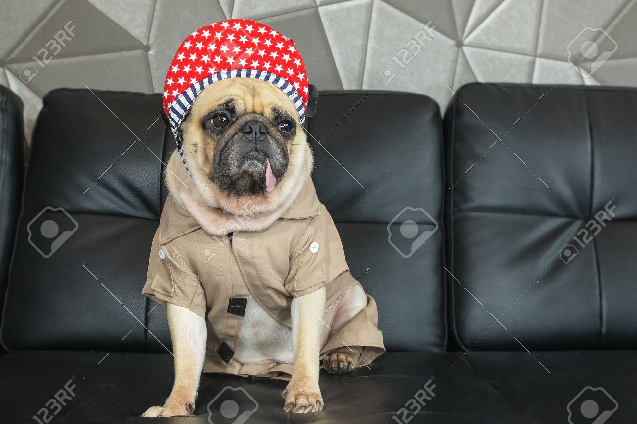Best Pug Black Adorable Dog - 53874101-close-up-cute-dog-pug-bored-with-hip-hop-hat-on-black-sofa-in-room-look-out-side-tongue-pacifier-mou  Perfect Image Reference_16519  .jpg
