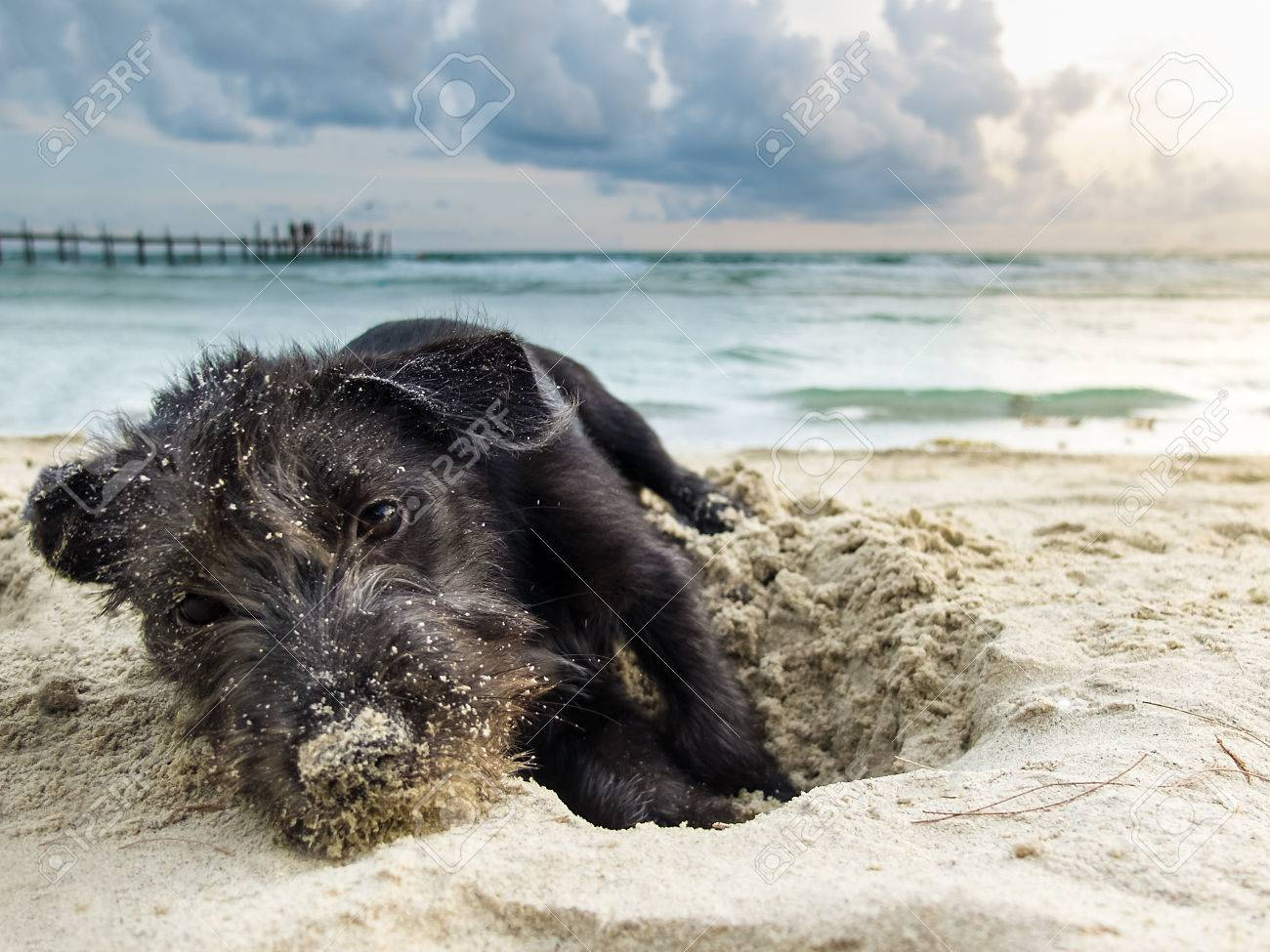 Portrait Mix Breed Of A Black Yorkshire Terrier On The Sea Beach