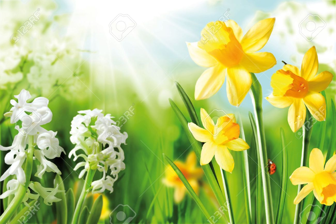 Cheerful Spring Bulbs. Background of flowering white narcissus and yellow daffodils under spring sunshine Stock Photo - 12639863