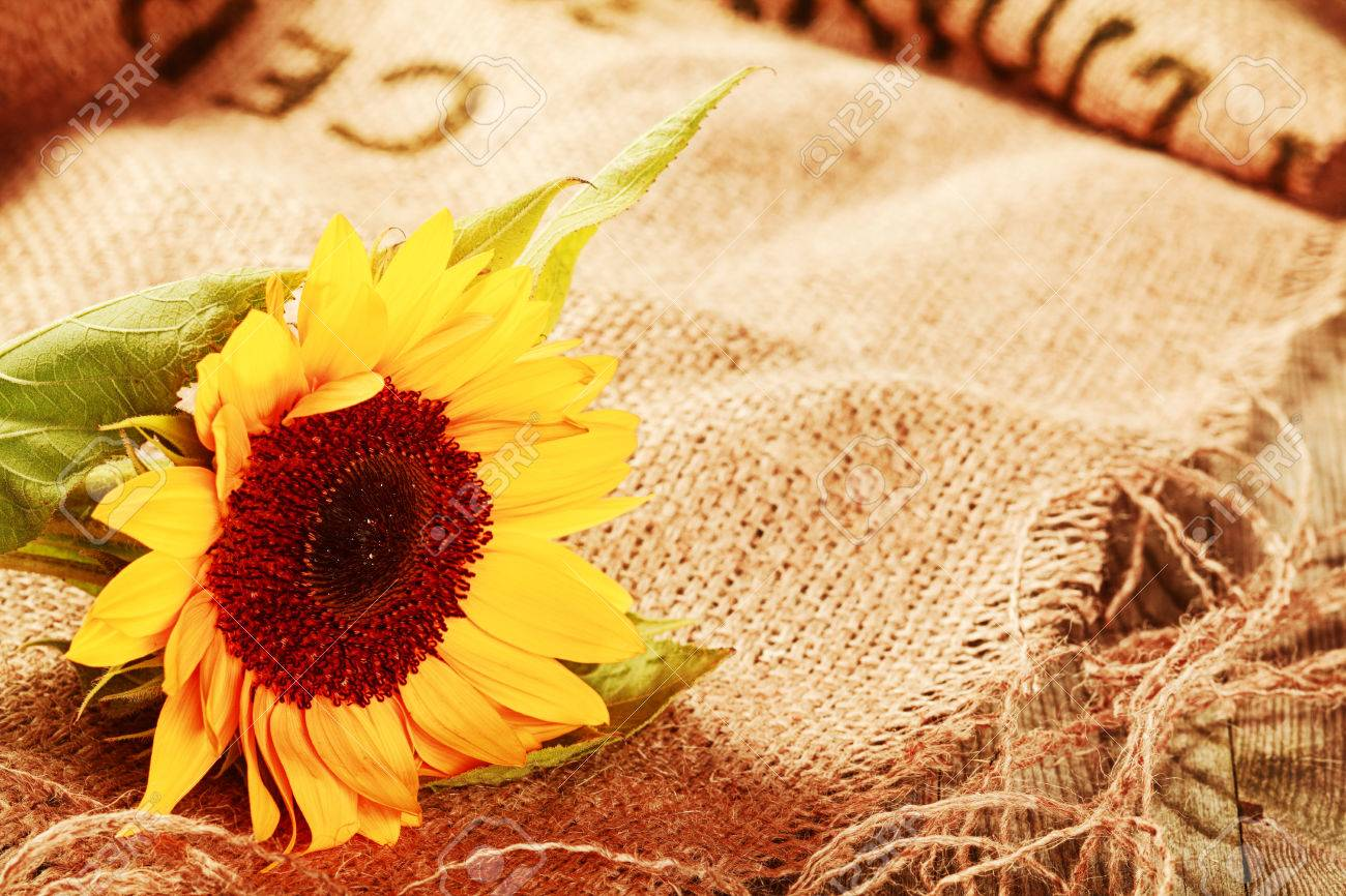 Beautiful Bright Yellow Sunflower In A Rustic Background Lying On Frayed Piece Of Brown Hessian