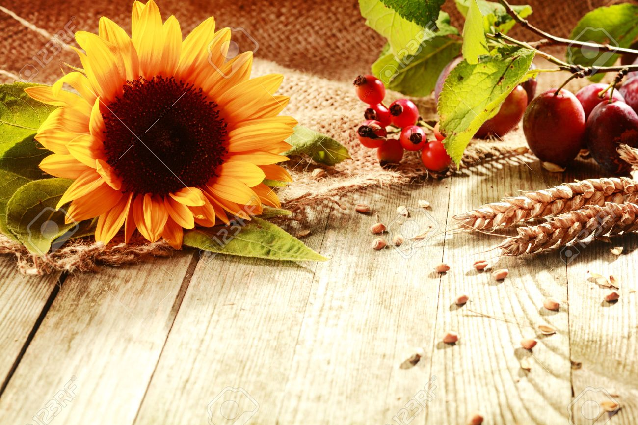 Colorful Rustic Thanksgiving Background With A Vibrant Yellow Sunflower Ears Of Ripe Wheat Rose