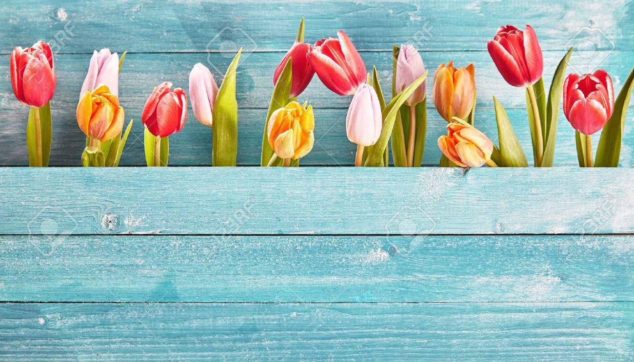 Still life border of colorful fresh spring tulips arranged as a row between two blue-green rustic wooden panels with copy space below Stock Photo - 54712583