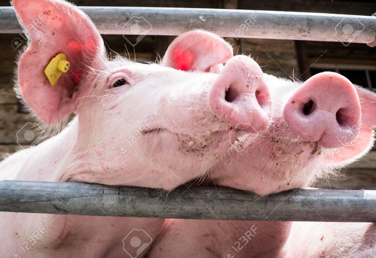 beautiful piglets at a farm - 17743489