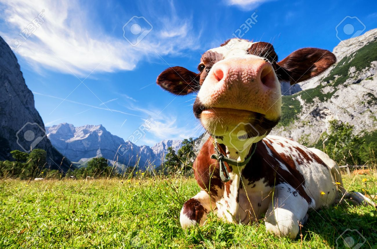 cows at the karwendel mountains in austria - 47063411