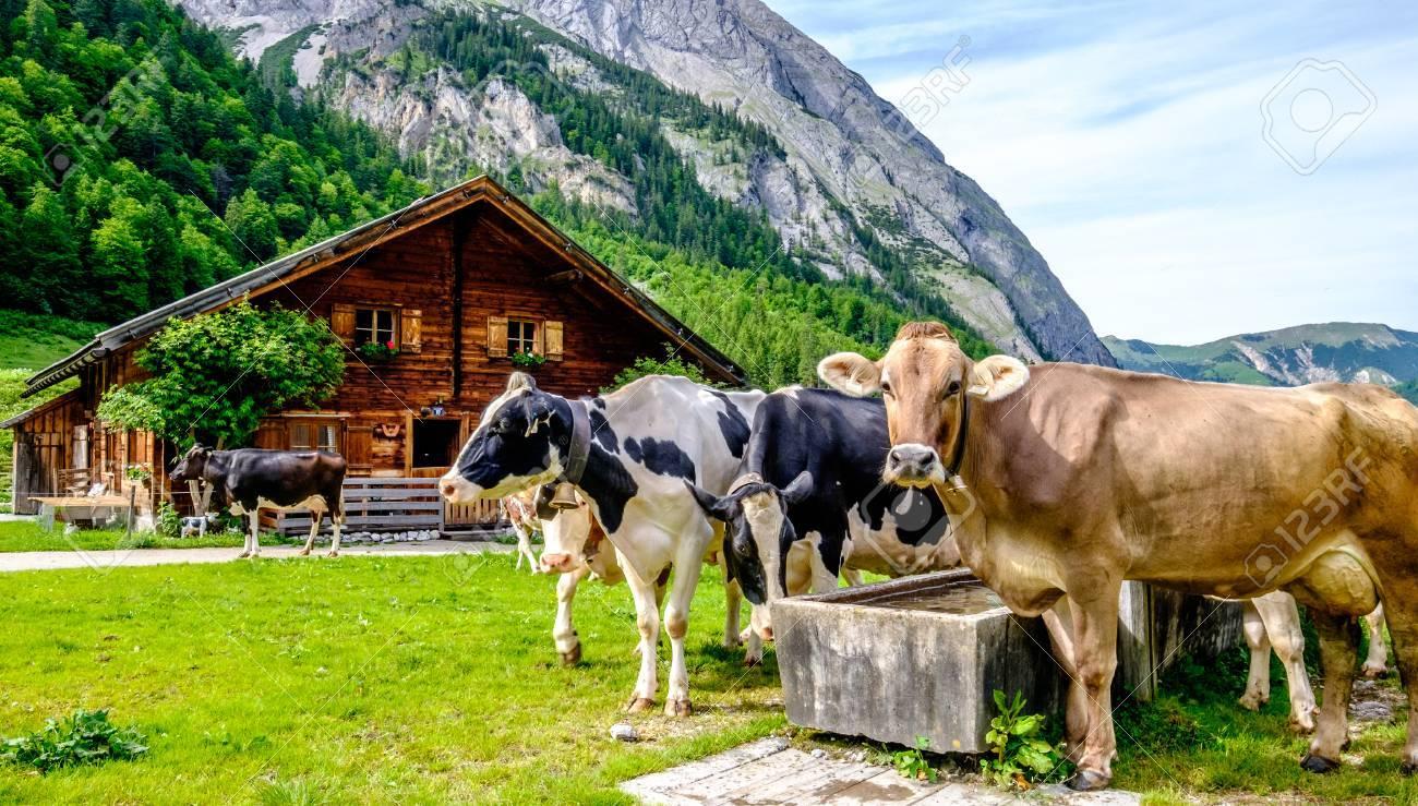 cows at the karwendel mountains - 80233130