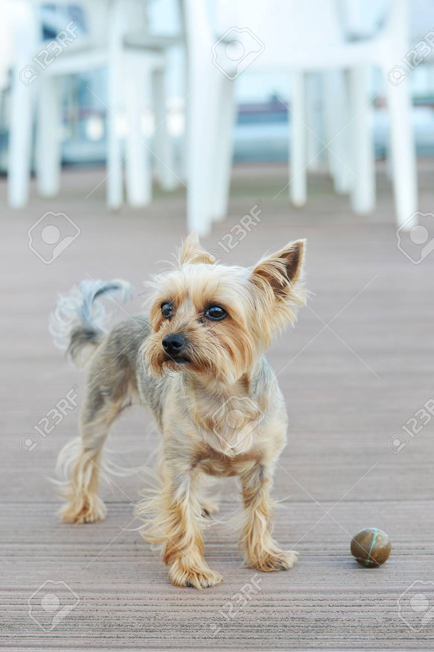 Yorkie Puppies With Short Hair The Best Short Hair 2018
