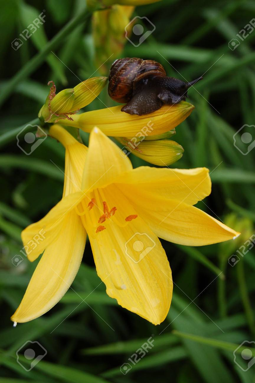 Yellow lily with a snail on it Stock Photo - 5003942