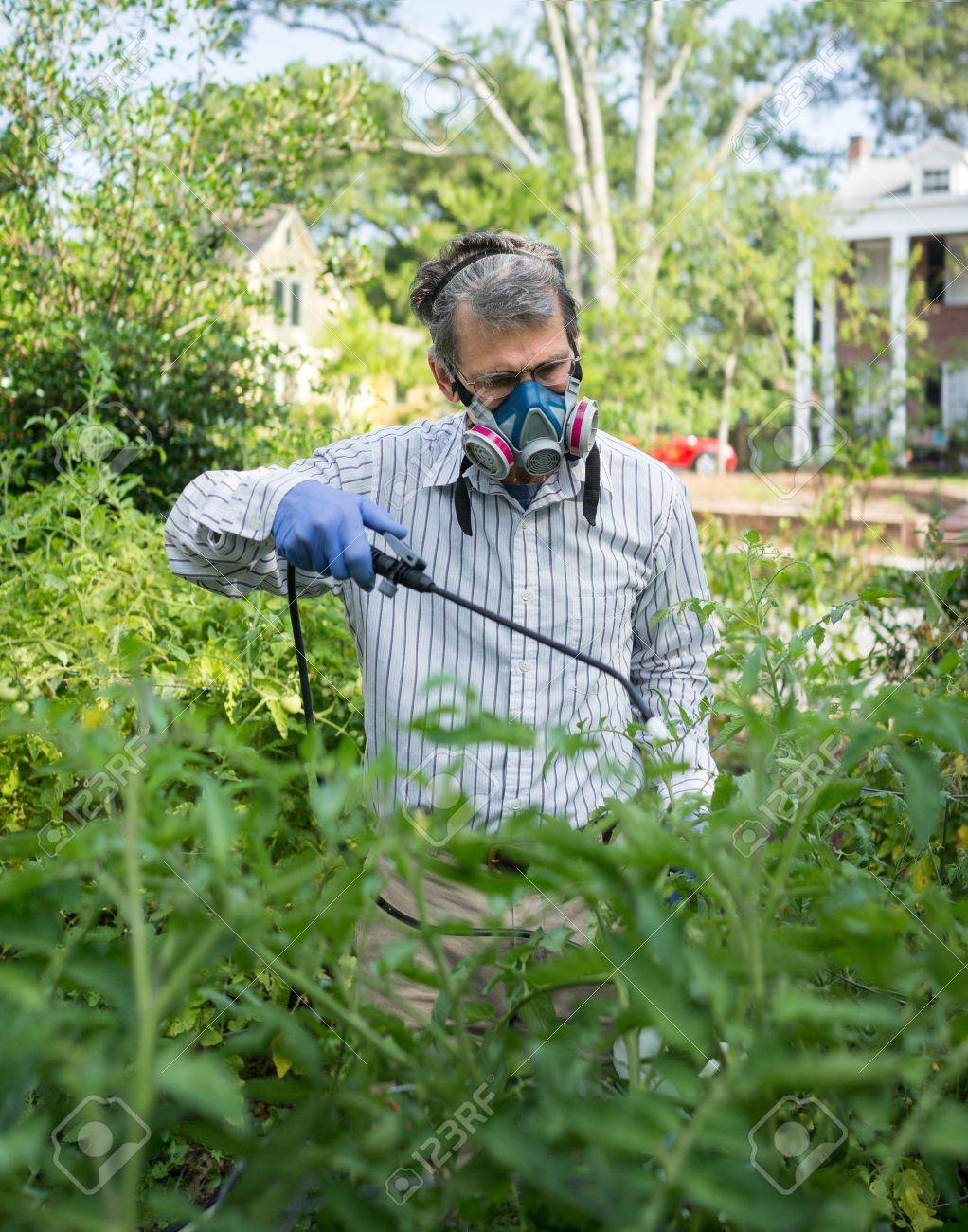 Man In Face Mask And Gloves Spraying Insecticide On Tomato Plants